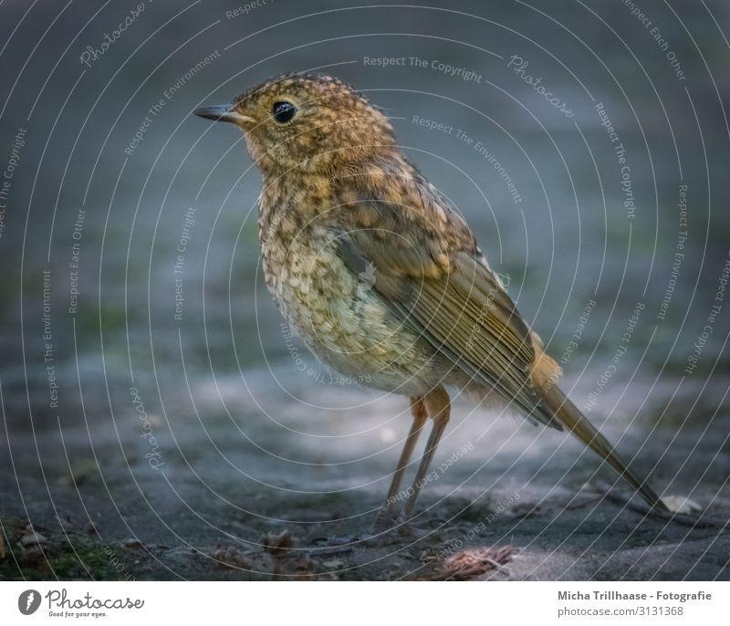 Junges Rotkehlchen Natur Tier Sonnenlicht Schönes Wetter Wildtier Vogel Tiergesicht Flügel Krallen Küken Kopf Auge Schnabel Feder gefiedert 1 Tierjunges