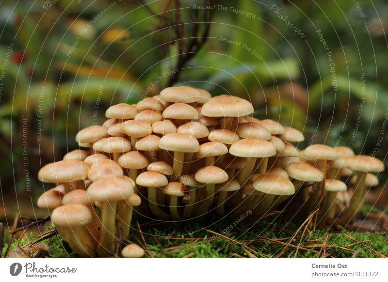 Gemeinsam sind wir stark Natur Pflanze Erde Herbst Pilz braun Farbfoto Außenaufnahme Detailaufnahme Menschenleer Tag Zentralperspektive