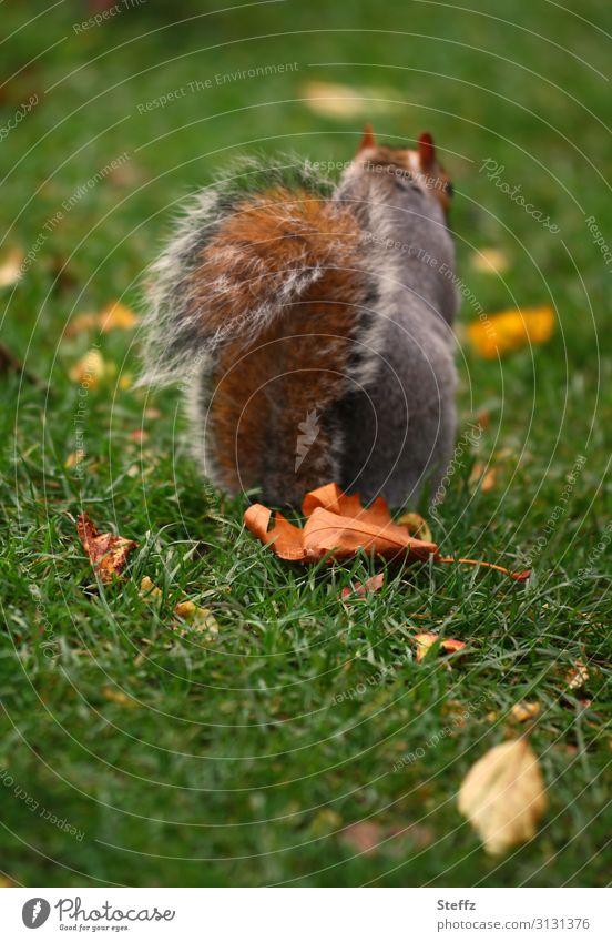 autumn squirrel Umwelt Natur Herbst Gras Blatt Herbstlaub Garten Park Tier Wildtier Eichhörnchen Schwanz 1 natürlich braun grün orange Herbstgefühle