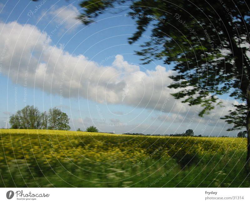 Rapsfeld auf Rügen Feld Baum Horizont Wolken Rapsfels Himmel