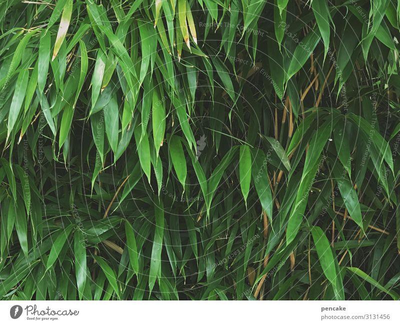 asiasalat Blätter Asien Japan Bambusblätter natürlich wachsen leben Wachstum Außenaufnahme Pflanze Natur grün exotisch Umwelt Garten Bambusrohr Urwald Park
