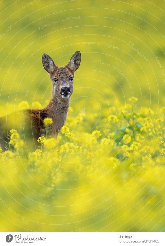 Reh im Rapsfeld Natur Landschaft Pflanze Blume Gras Wiese Wald Tier Wildtier Tiergesicht Fell 1 beobachten Bewegung Blick Rehauge Rehkitz Farbfoto