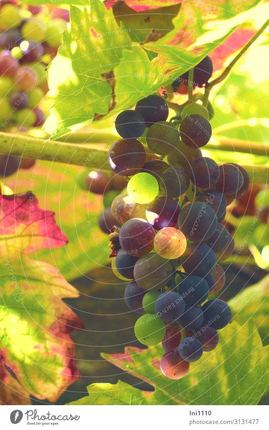 Weintrauben Landschaft Pflanze Herbst Schönes Wetter Nutzpflanze Garten blau mehrfarbig gelb grün violett rot schwarz Ranke Herbstfärbung unreif Lichtspiel