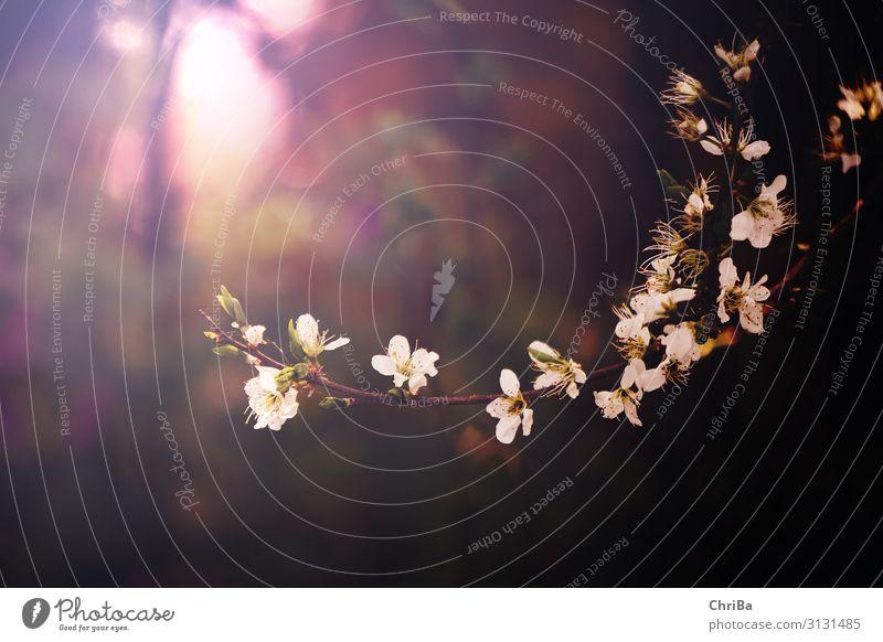 Frühlingslicht Umwelt Natur Pflanze Sonne Sonnenlicht Baum Blüte Nutzpflanze Wildpflanze Obstblüten Obstbaum Blühend glänzend leuchten Duft fantastisch schön