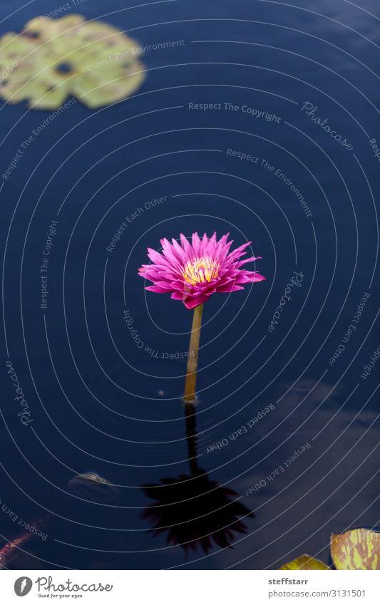 Strahlend rosa Seerose Nymphaea blüht in einem Teich mit Seerosenpolstern. Natur Pflanze Blume Blüte grün rosa Blume Sommerglocke Wasserblume Seerosenblatt