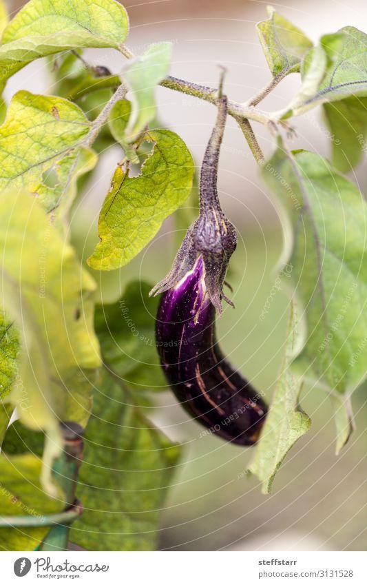 Aubergine Obst Gemüseanbau in einem natürlichen Bio-Garten Lebensmittel Frucht Natur Pflanze Nutzpflanze grün violett organisch Gemüsegarten violettes Gemüse