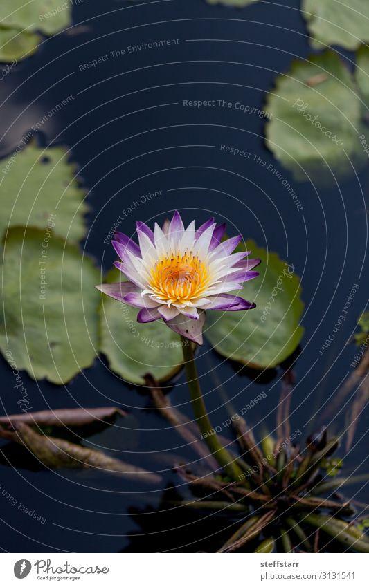 Spikey Lila und weiße Seerose Nymphaea blüht in einem Teich. Natur Pflanze Blume gelb grün violett Seerosen violette Blume lila Seerose Sternenseerose