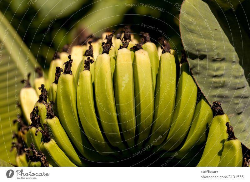 Super Zwerg Höhlenfrüchte Banane Frucht Musa acuminate Garten Natur Pflanze Baum Blatt Nutzpflanze natürlich gelb grün Super Zwerg Höhlenforscher organisch