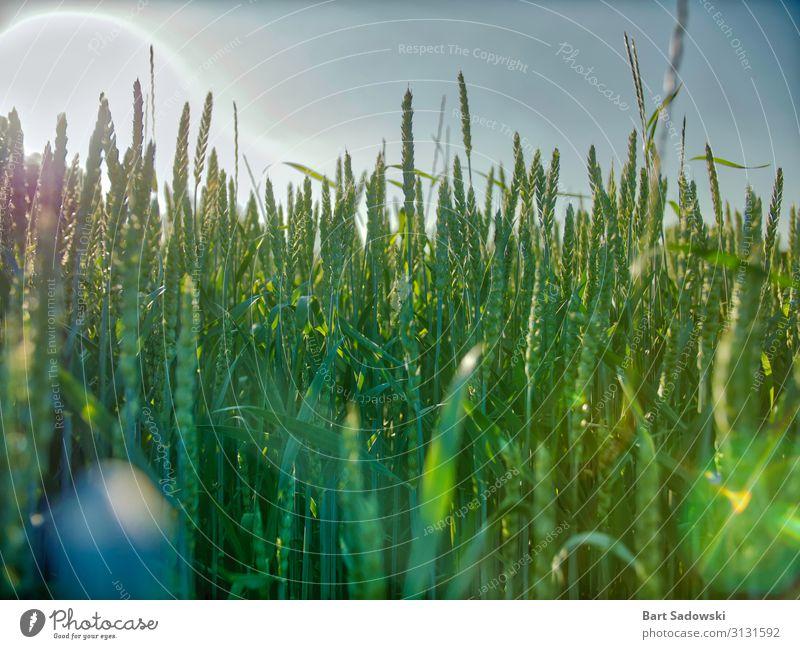 Junger Weizenfeld Detail mit Sonnenblendung Getreide Bioprodukte Gesunde Ernährung Leben Pflanze Gras Nutzpflanze Feld Essen Fressen füttern Wachstum frisch