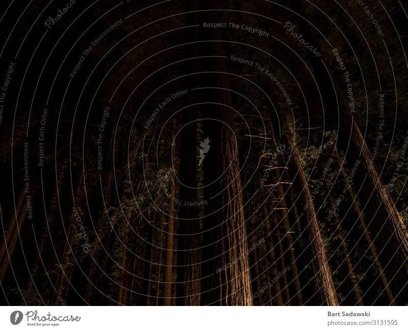 Nachtansicht der riesigen Mammutbäume Abenteuer Camping Natur Nachthimmel Baum Wald Küste Holz Jagd dunkel groß hoch natürlich wild braun Entsetzen Freiheit