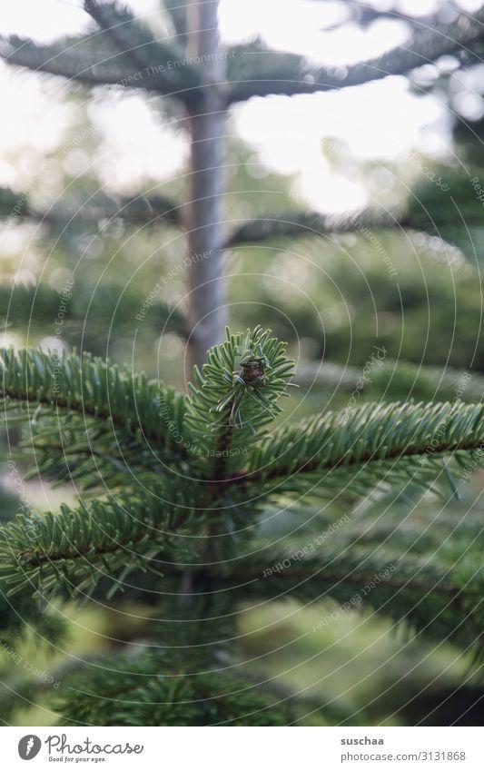 oh tannenbaum (mal wieder) Baum Nadelbaum Tannenbaum Weihnachtsbaum Weihnachten & Advent Tannenzweig Tannennadel verschönern Familienfeier Natur Außenaufnahme