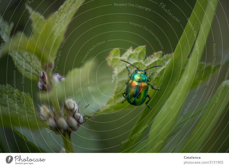 Der bunt schimmernde, ovaläugiger Blattkäfer klettert ein Nesselblatt hoch Insekt Tier Schädling Käfer Makroaufnahme Nahaufnahme Natur grün krabbeln Fühler