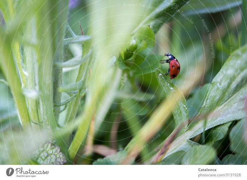 Marienkäfer krabbelt von einem Blatt zum nächsten Rot Weiß Tageslicht Garten krabbeln Insekt Käfer Tier Fauna Flora Natur Wiese Gras Pflanze Löwenzahn Sommer