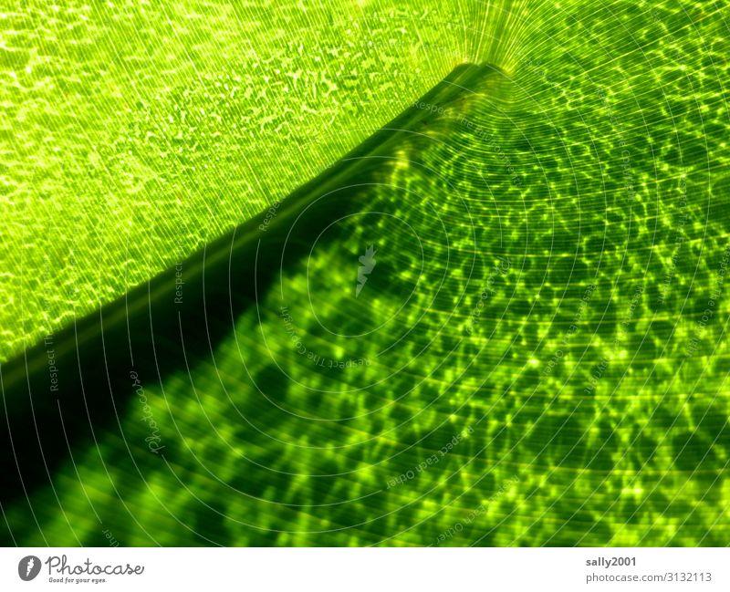 blattgrün... Blatt Blattstruktur Natur Pflanze Zelle Zellen Licht Ader Blattader Blattadern Blattzellen Blattstil leuchtend Chlorophyll schwache Tiefenschärfe