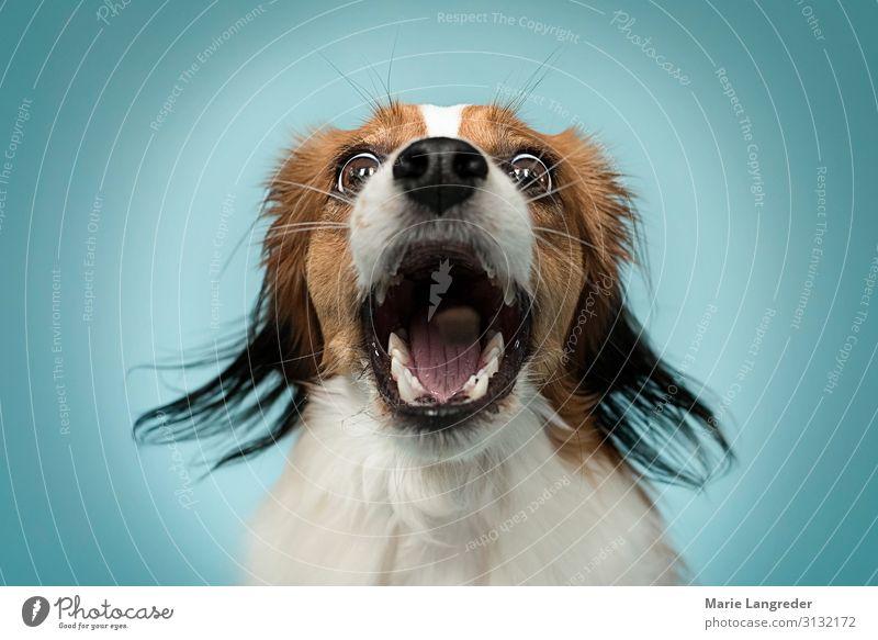 Leckerli kommt geflogen! Tier Haustier Hund Maul 1 Hundefutter fangen Fressen blau mehrfarbig orange Tierliebe Bewegung Werbung Farbfoto Studioaufnahme