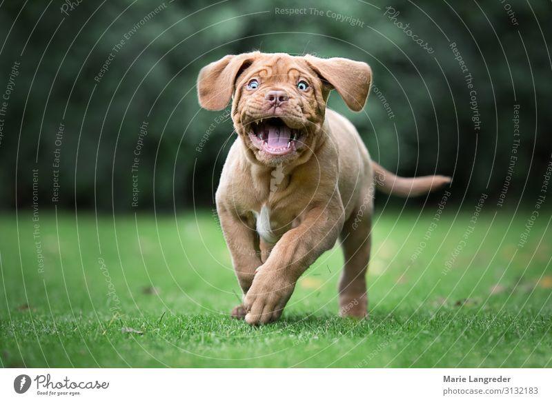 Lebensfreude Wiese Tier Haustier Hund Welpe 1 Bewegung laufen rennen Fröhlichkeit Glück niedlich positiv mehrfarbig grün Freude Frühlingsgefühle Kraft Tierliebe