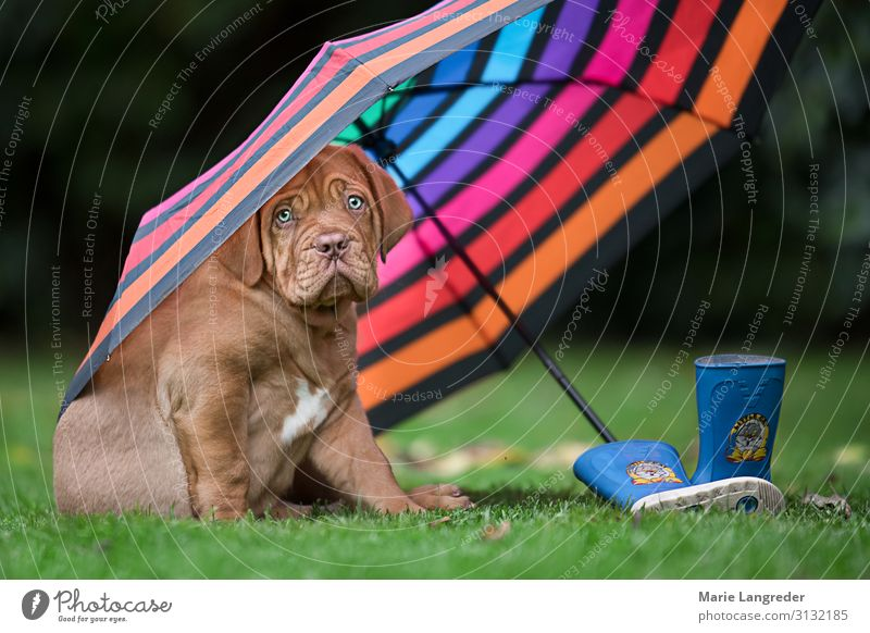 Hundswetter Frühling Herbst schlechtes Wetter Wind Regen Tier Haustier Welpe 1 Regenschirm Gummistiefel nass niedlich mehrfarbig Lebensfreude Tierliebe Klima
