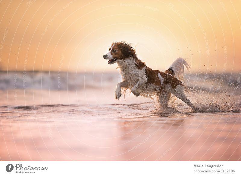 Freiheit Sommer Sommerurlaub Sonne Strand Meer Natur Landschaft Wasser Nordsee Tier Haustier Hund 1 Schwimmen & Baden laufen Glück gelb gold violett rosa Freude