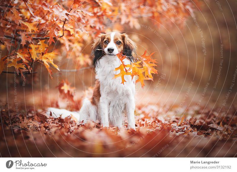 Hund im Herbsttraum Natur Schönes Wetter Baum Wald Tier Haustier 1 mehrfarbig gelb gold orange rot Tierliebe Blatt Farbfoto Außenaufnahme Textfreiraum rechts