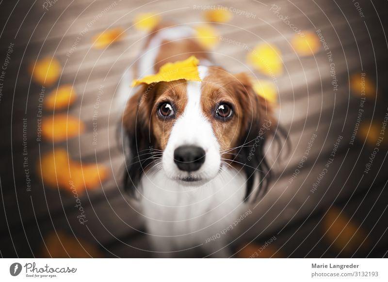 Autumnlove Natur Herbst Schönes Wetter Blatt Tier Haustier Hund 1 Warmherzigkeit Farbfoto Außenaufnahme Textfreiraum links Textfreiraum rechts Tag
