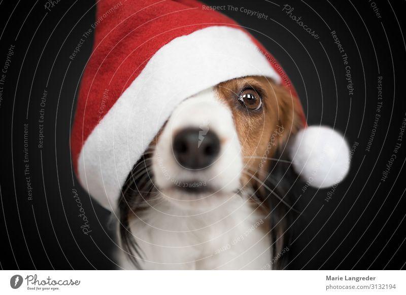 Weihnachtshund Weihnachten & Advent Tier Haustier Hund 1 rot schwarz Tierliebe Wunsch Farbfoto Innenaufnahme Studioaufnahme Nahaufnahme Textfreiraum oben
