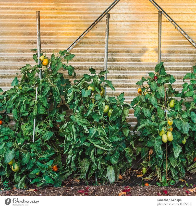Tomatenpflanzen in einem Garten Gewächshaus Herbst mehrfarbig Gartenarbeit grün Wachstum Nachtschattengewächse Außenaufnahme Pflanzenbeet Textfreiraum oben Tag