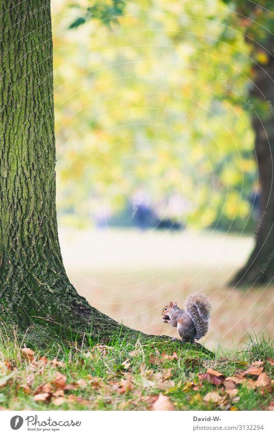 Grauhörnchen sitzt am Baum und isst eine Kastanie Eichhörnchen essen Natur hocken niedlich Nagetiere Wintervorrat sammeln Tier