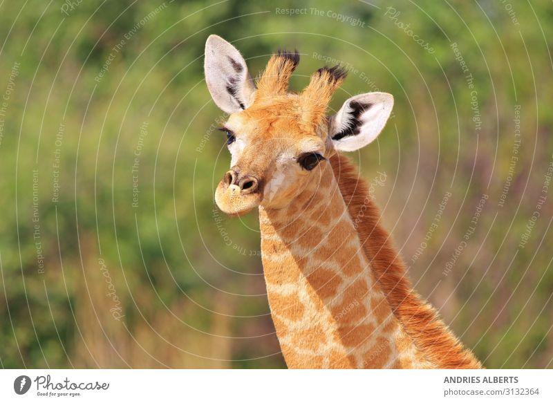 Giraffenkalb - Baby-Tiere in der Natur Ferien & Urlaub & Reisen Tourismus Ausflug Abenteuer Freiheit Sightseeing Safari Expedition Sommer Sommerurlaub Umwelt