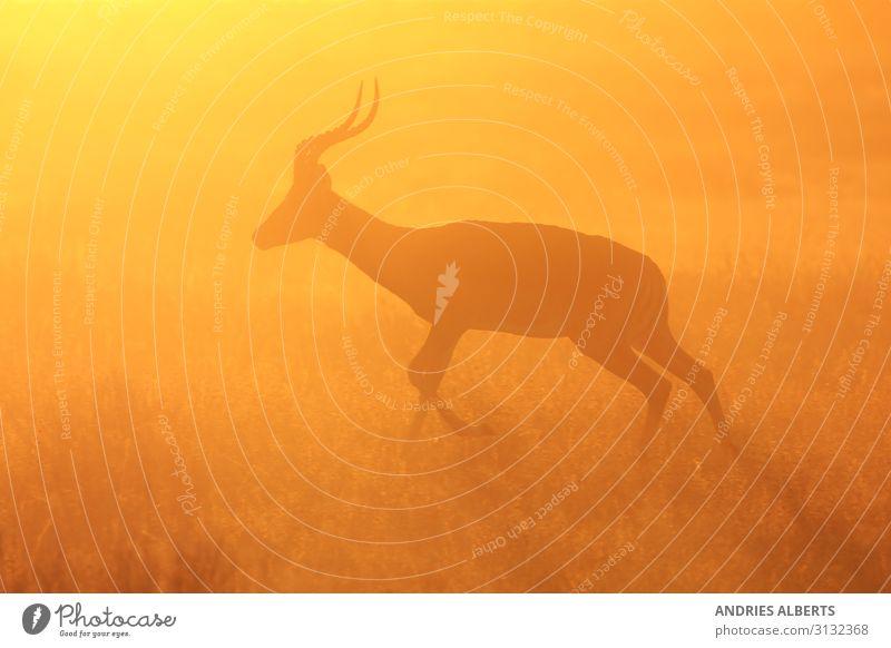 Impala Antilope - Silhouettenlauf Wellness Leben Sinnesorgane Ferien & Urlaub & Reisen Tourismus Ausflug Abenteuer Freiheit Sightseeing Safari Expedition