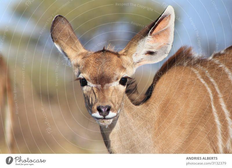 Kudu Kalb - Baby Tiere in der Natur Ferien & Urlaub & Reisen Tourismus Ausflug Abenteuer Freiheit Sightseeing Safari Expedition Sommer Umwelt Sonnenlicht