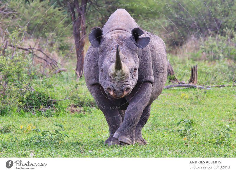 Spitzmaulnashorn - Gefährdete Arten Ferien & Urlaub & Reisen Tourismus Ausflug Abenteuer Sightseeing Safari Expedition Sommerurlaub Umwelt Natur Tier