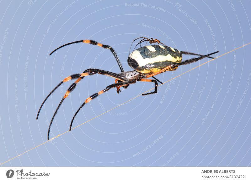 Golden Orb Web Weaver Spinne Ferien & Urlaub & Reisen Tourismus Sightseeing Safari Expedition Umwelt Natur Tier Sonnenlicht Frühling Savanne Spinnennetz