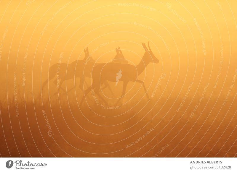 Springbocklauf - Goldenes Leben Ferien & Urlaub & Reisen Tourismus Ausflug Abenteuer Freiheit Sightseeing Safari Expedition Umwelt Natur Landschaft Tier Himmel