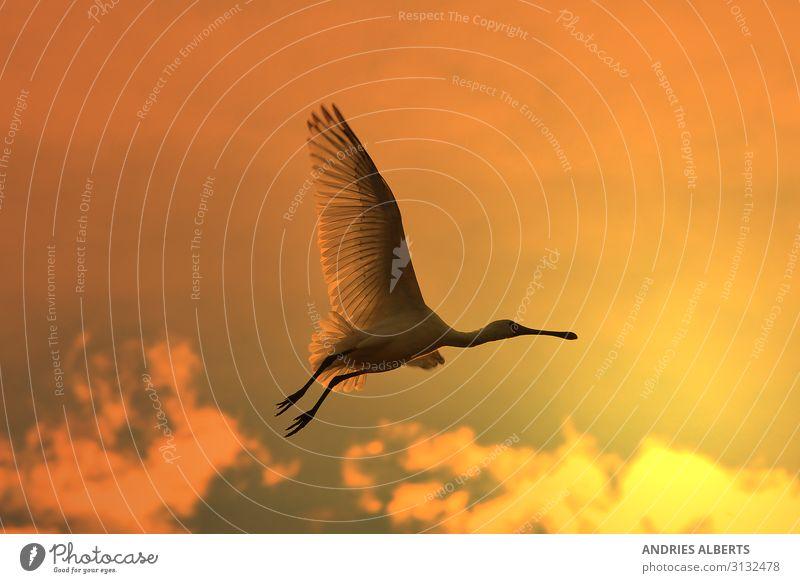 Löffler Storch - Goldener Flug harmonisch Ferien & Urlaub & Reisen Tourismus Ausflug Freiheit Sightseeing Safari Sommer Sonne Umwelt Natur Tier Himmel