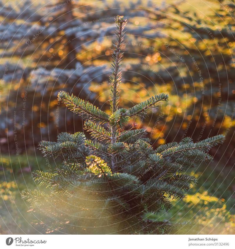 Der Weihnachtsbaum wächst im Herbst Tanne Park Hintergrundbild schön Weihnachten & Advent Anti-Weihnachten Tannennadel Nadelbaum Landschaft Garten gold grün