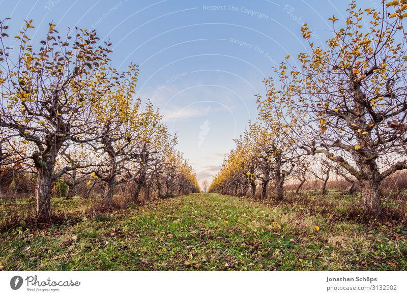 Plantage mit Obstbäumen mit blauem Himmel Herbst Park Hintergrundbild schön Landschaft Garten gold Natur natürlich Außenaufnahme Romantik Jahreszeiten ruhig