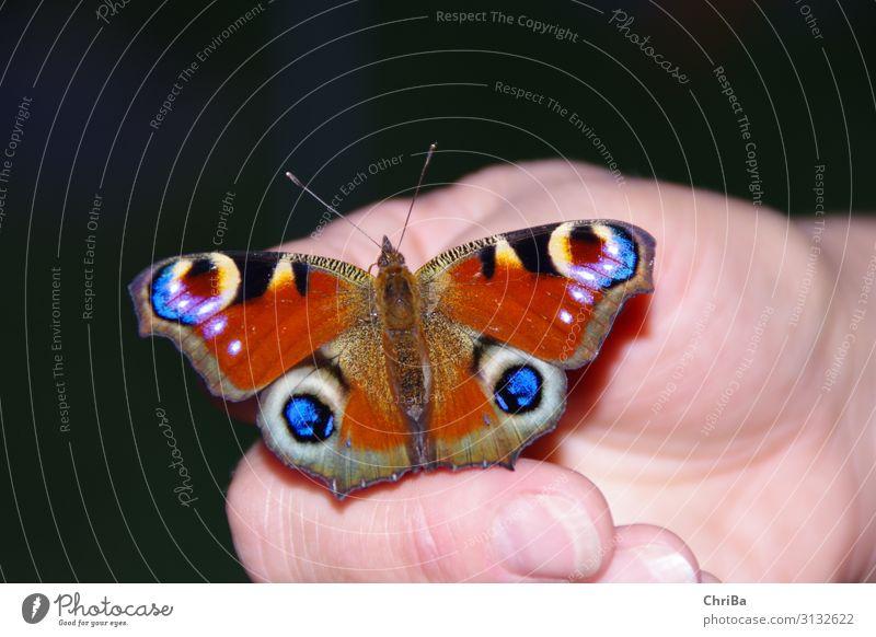 Tagpfauenauge auf der Hand Frau Natur blau rot Erholung Tier Leben Umwelt Garten Zusammensein sitzen Lebensfreude Finger fantastisch einzigartig