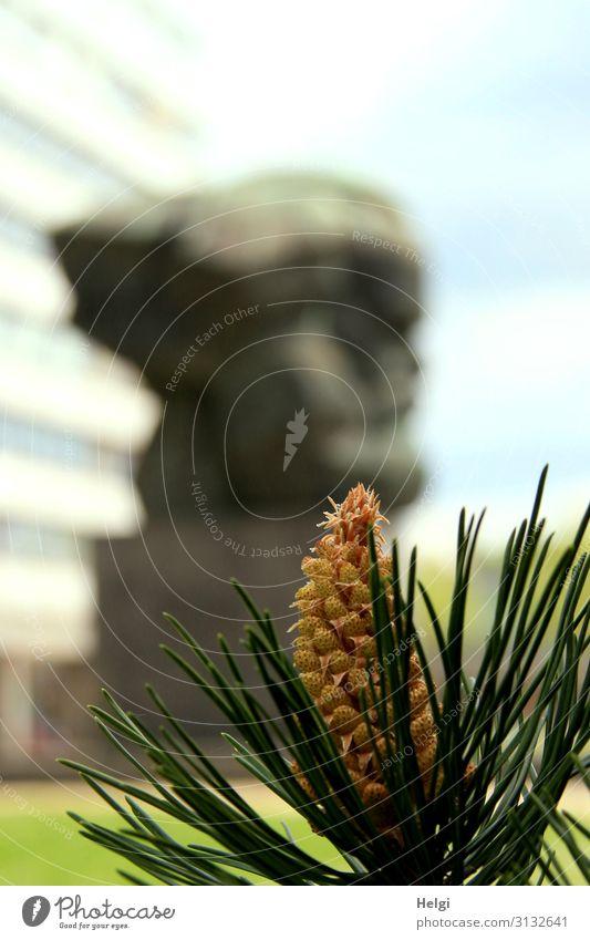 Nahaufnahme eines Kiefernzweiges mit Blüte, im Hintergrund unscharf die Statue von Karl Marx in Chemnitz Natur Schönes Wetter Pflanze Kiefernnadeln Wiese Stadt