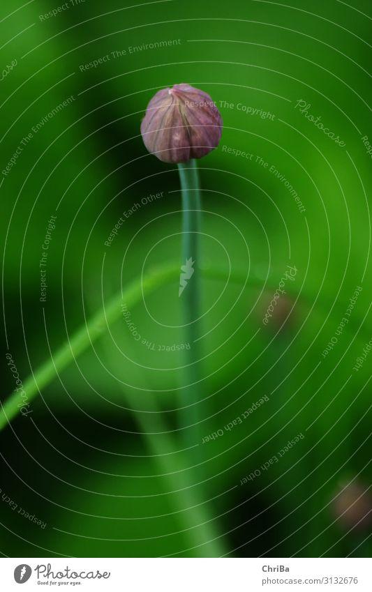 Lauchknospe Kräuter & Gewürze Umwelt Natur Pflanze Blüte Grünpflanze Nutzpflanze ästhetisch Duft saftig grün violett Frühlingsgefühle Appetit & Hunger