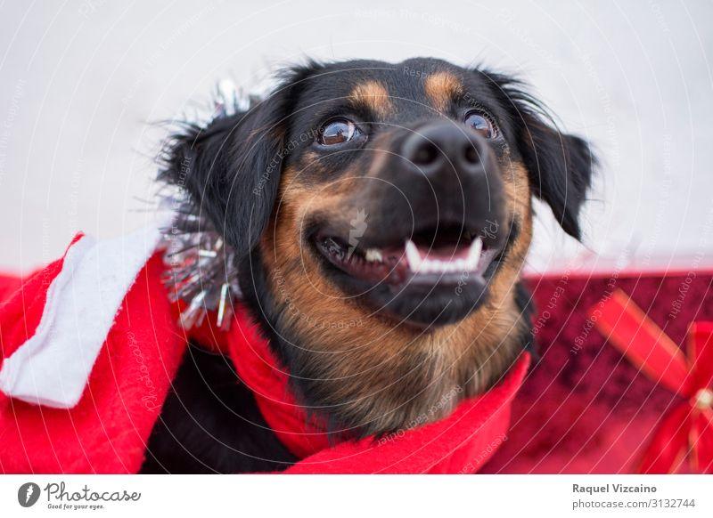 """Weihnachtshund Winter Schnee Tier Haustier Hund 1 Bewegung Fröhlichkeit niedlich rot schwarz weiß """"Hund Weihnachten Weihnachtsmann Geschenke Frohe Weihnachten"""