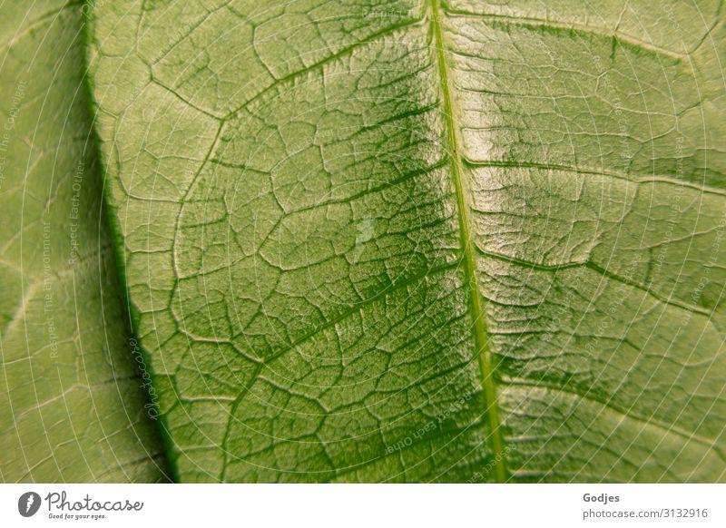 Makroaufnahme eines Pflanzenblattes Natur Blatt Grünpflanze Topfpflanze beobachten Wachstum glänzend saftig grün schön authentisch stagnierend Umwelt Blattadern
