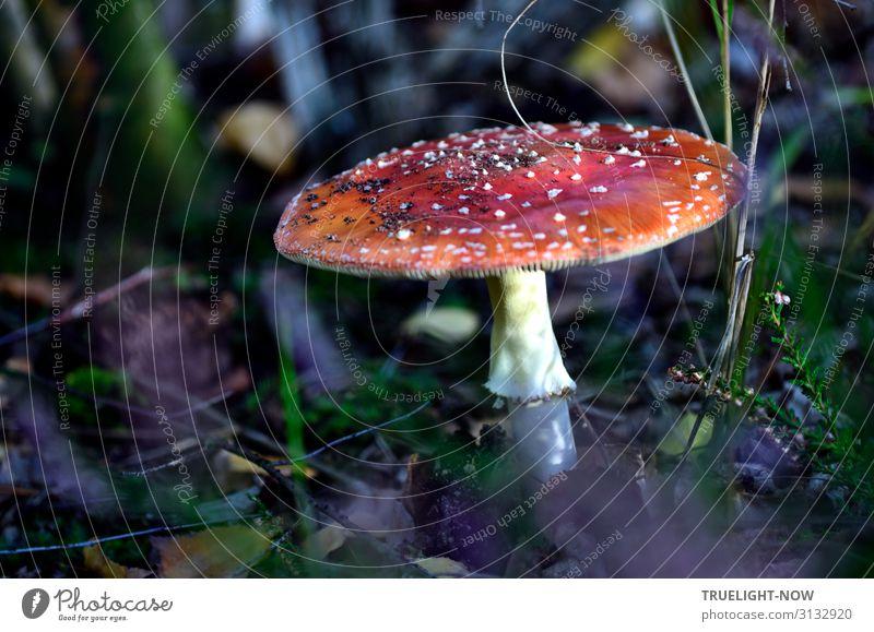 Fliegenpilz Natur Pflanze Erde Wald Zeichen ästhetisch dunkel Fröhlichkeit frisch nah natürlich rund stark grün violett rot schwarz weiß Gefühle Freude Glück