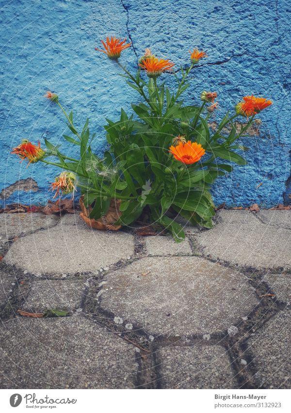 Ringelblumen Natur Sommer Pflanze blau grün Leben Wand Umwelt Blüte natürlich Garten Mauer orange grau Wachstum Kraft