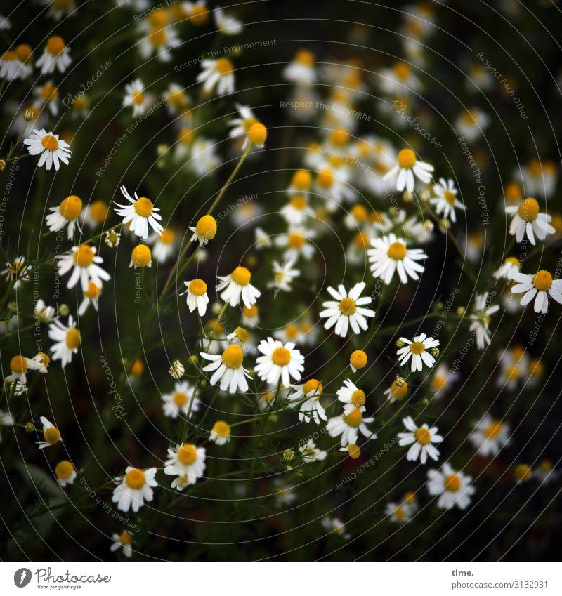 hier riecht's doch nach ... Kamillenwiese kamille Vogelperspektive Wiese Vegetation pflanze Blüte heilpflanze gemeinsam zusammen Gesellschaft Kunst Gewächs
