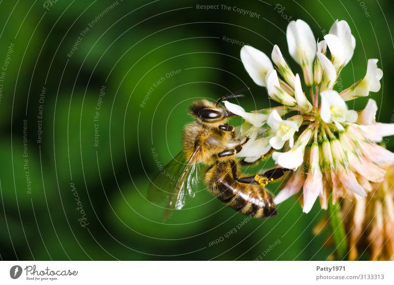 Biene sammelt Pollen an einer Kleeblüte Pflanze Blume Blüte Tier Nutztier 1 Arbeit & Erwerbstätigkeit Fressen gelb grün weiß genießen nachhaltig Natur Überleben