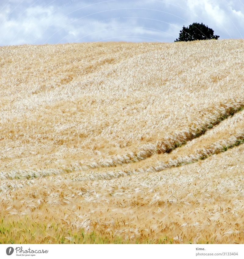 Randbemerkung Getreidefeld landwirtschaft sommer leben himmel gelb blau frisch luftig perspektive panorama horizont getreide lebendig baum wolken fahrspur