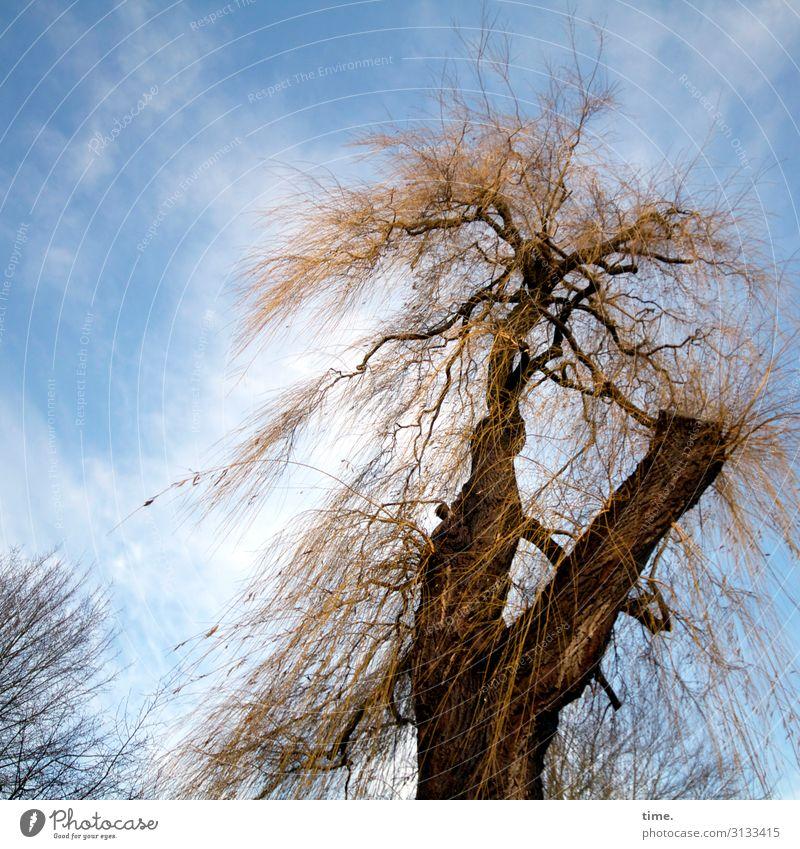 frei und ungekämmt baum himmel skurril struppig wolken krank baumstamm äste hoch natur flora wild rinde weide rebellisch überleben kampf kraft macht stärke