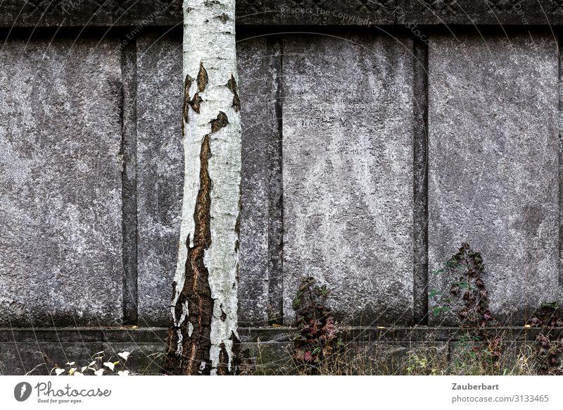 Graue Mauer mit Birkenstamm Skulptur Baum Friedhof Grab Grabstein Wand Stein stehen Traurigkeit fest grau weiß bescheiden Sorge Trauer Tod Einsamkeit