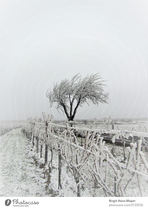 Rauhreif Winter Natur Landschaft Klima Wetter schlechtes Wetter Baum Weinberg Feld Menschenleer frieren Traurigkeit dunkel kalt grau weiß Einsamkeit
