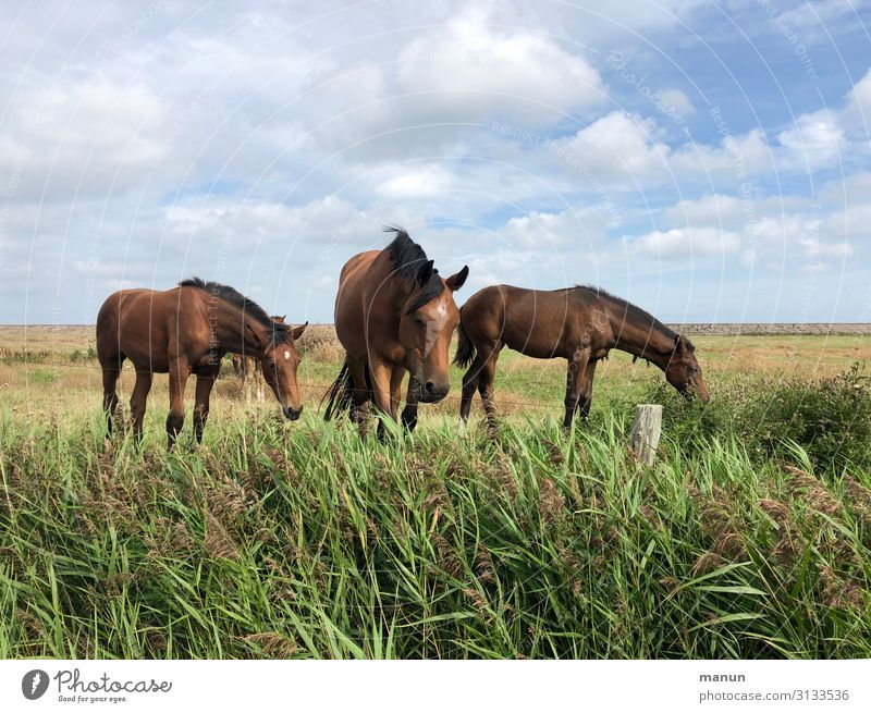 Ruhig, Brauner! Freizeit & Hobby Ferien & Urlaub & Reisen Reitsport Schönes Wetter Nordsee Weide Pferd Tiergruppe Fressen Blick Fröhlichkeit frisch Gesundheit